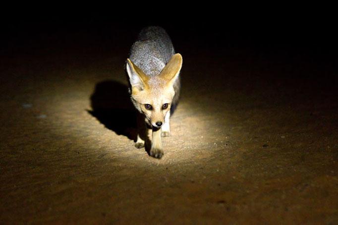 Un petit visiteur nocturne à notre camp... Renard du Cap