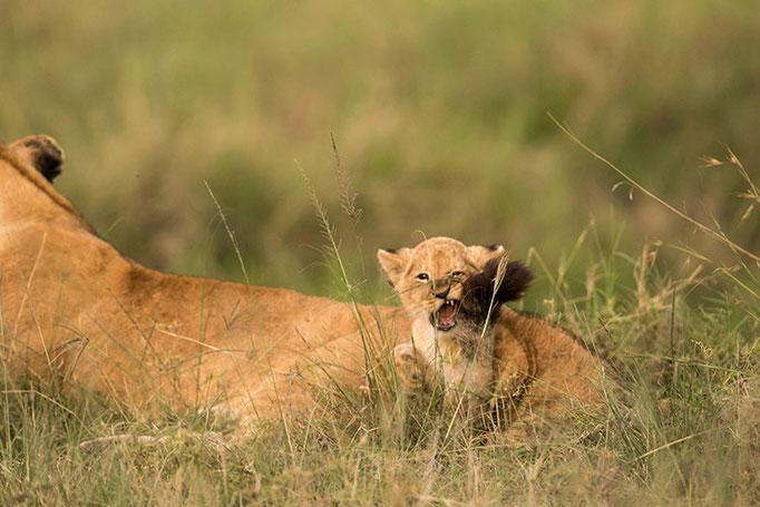 Maasai Mara: lionceau jouant avec la queue de sa mère