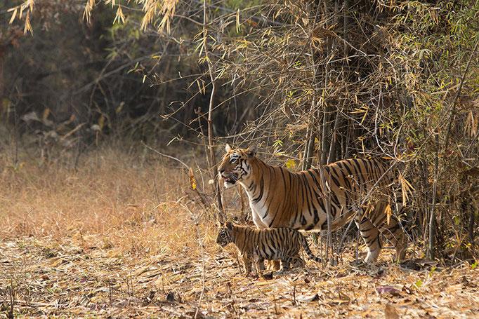 Maya et des 2 bébés  (2 mois et demi) - Tadoba Andhari Tiger Reserve