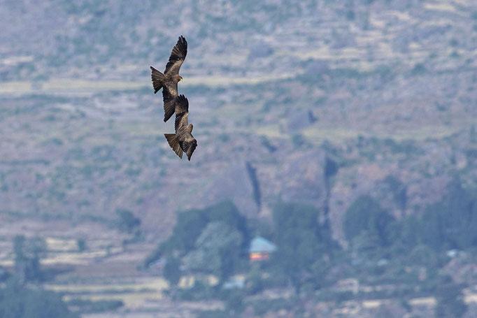 Debre Libanos - Aigles Ravisseur