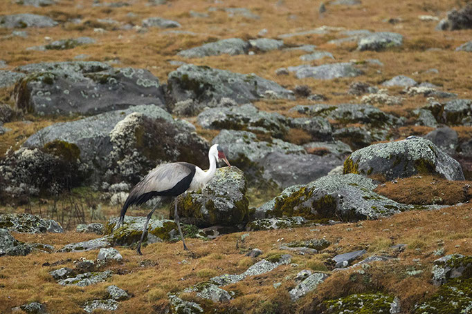 Balé Mountain National Park - Cigogne Blanche