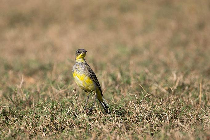 Bergeronette Citrine - Nagarahole National Park (Kabini)