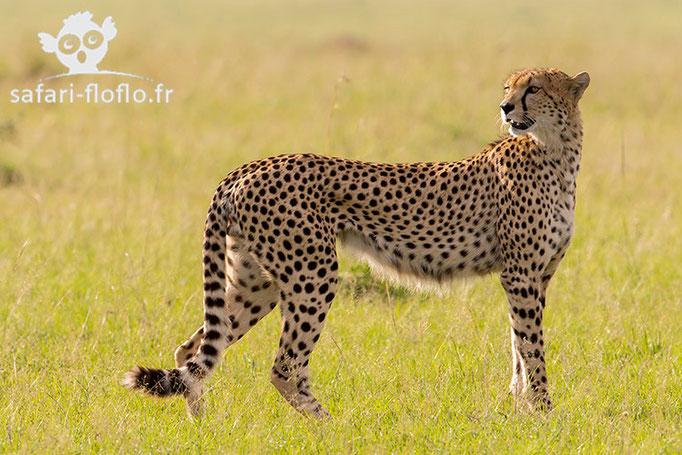 Guépard mâle
