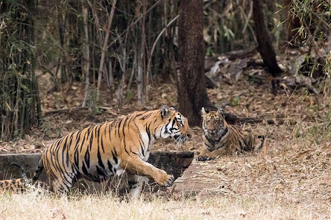 Sonam - Tadoba Andhari Tiger Reserve