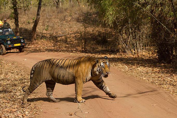 Réserve de Bandhavghar - Magnifique tigre male