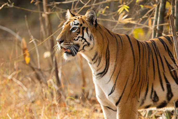 Maya - Tadoba Andhari Tiger Reserve
