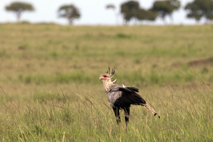 Maasai Mara: Messager Sagittaire ou Aigle Serpentaire