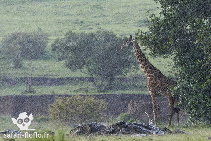 Girafes Masai sous la pluie
