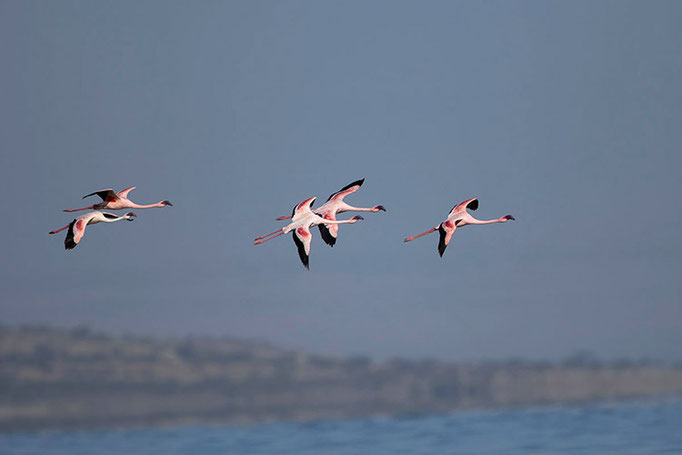 Lac Longano - Flamants Roses