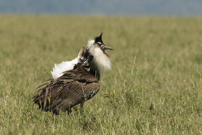 Maasai Mara: Outarde de Kori male en parade