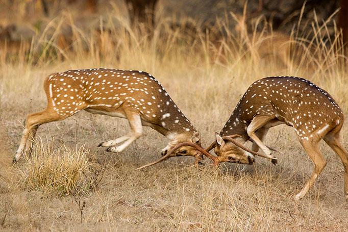 Combat de Cerf Axis - Tadoba Andhari Tiger Reserve
