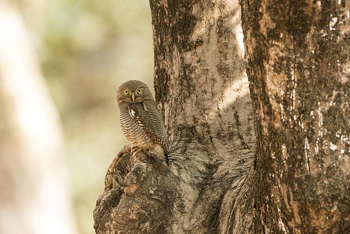 Réserve de Bandhavghar - Chevechette de la Jungle