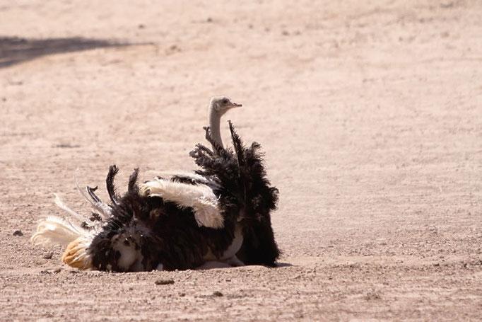 Autruche prenant un bain de poussière