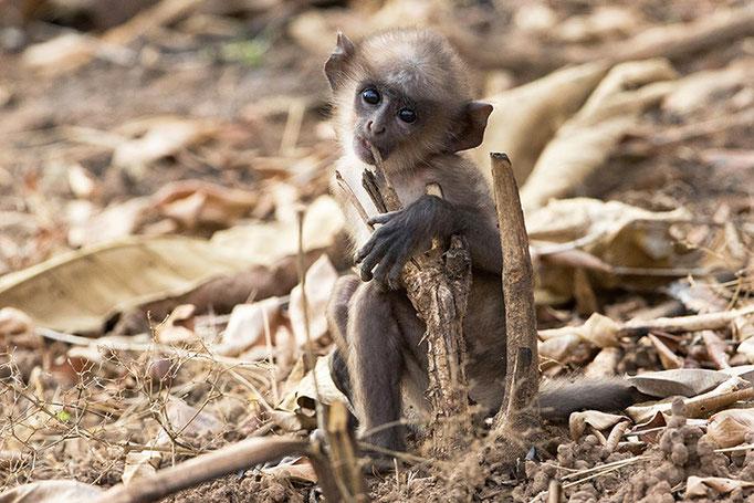 Jeune Langur - Tadoba Andhari Tiger Reserve