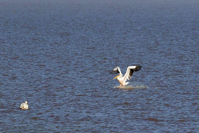Lac Longano - Pélican Blanc