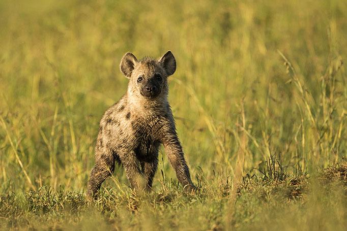 Maasai Mara: Jeunes hyènes tachetées jouant près du terrier