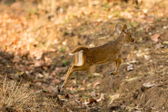 Faon de cerf Axis - Tadoba Andhari Tiger Reserve