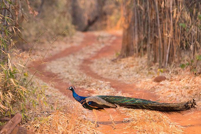Paon - Tadoba Andhari Tiger Reserve