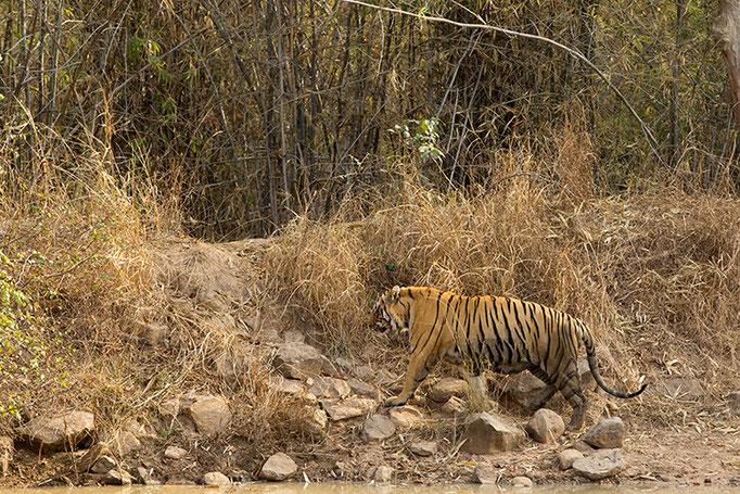 Matkasur mâle de 7 ans (papa des petits de Sonam) - Tadoba Andhari Tiger Reserve