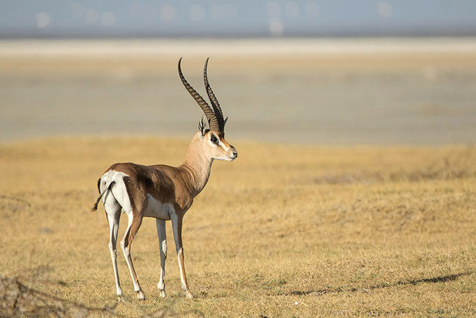 Lac Longano - Gazelle de Bright