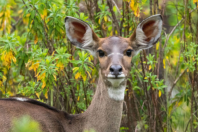 Balé Mountain National Park - Nyala des Montagnes femelle