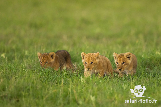 Lionceaux d'environ 2 mois