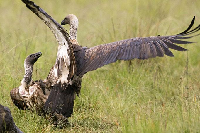 Maasai Mara: Vautours Charognards