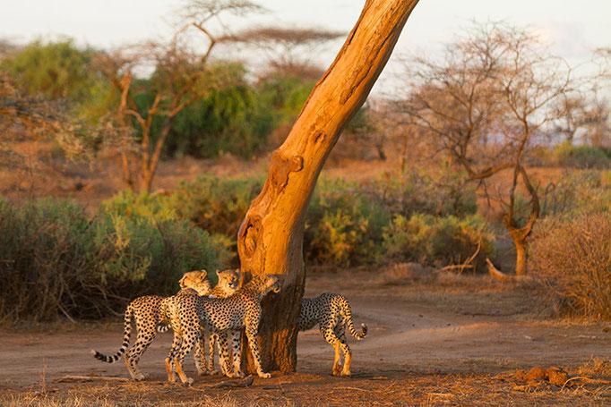 Samburu: Guépards