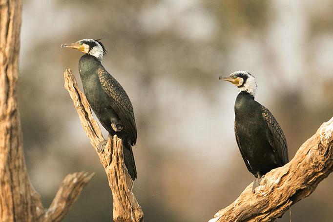Réserve de Satpura -  Grand Cormoran