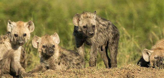Maasai Mara: Jeunes hyènes jouant près du terrier