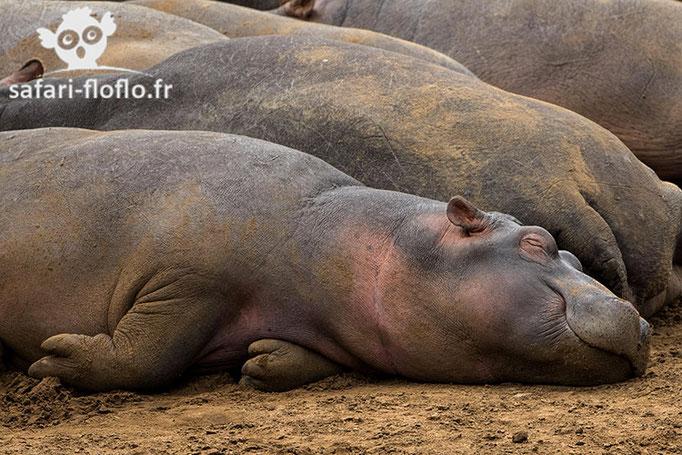 Hippo Nap!