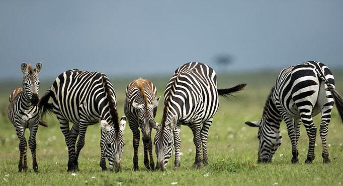 Maasai Mara: Zèbres des plaines