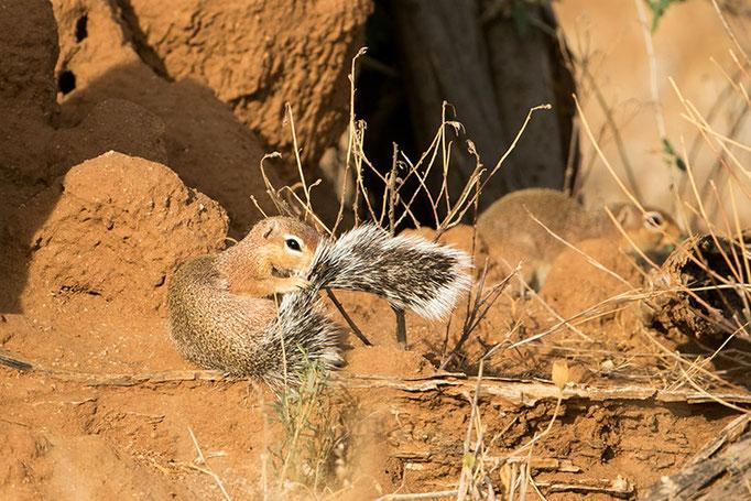 Samburu: Ecureuil Terrestre