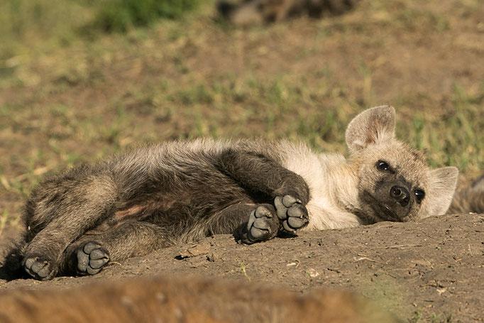 Maasai Mara: Jeune hyène posant
