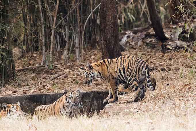 Jeunes tigres de 5 mois et demi (jeunes de Sonam) - Tadoba Andhari Tiger Reserve