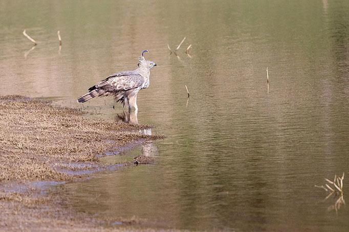 A identifier - Nagarahole National Park (Kabini)