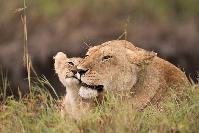 Maasai Mara: tendresse léonine