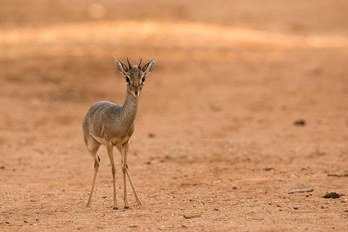 Samburu: Dik Dik