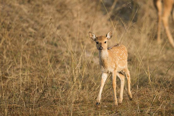 Réserve de Bandhavghar - Bambi!