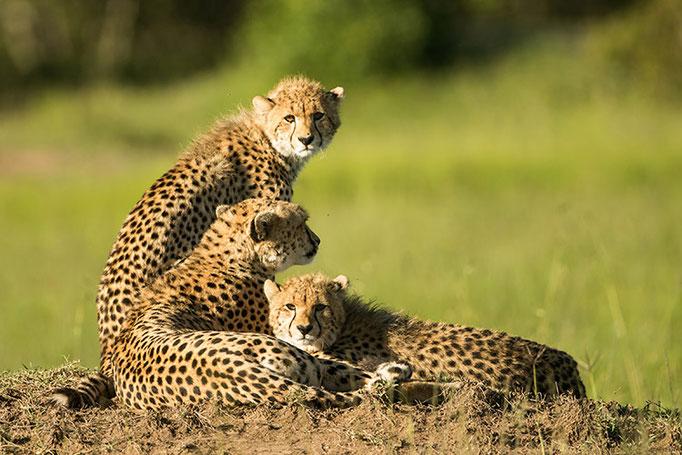 Maasai Mara: La célèbre Malaika avec ses 2 jeunes (Guépard)