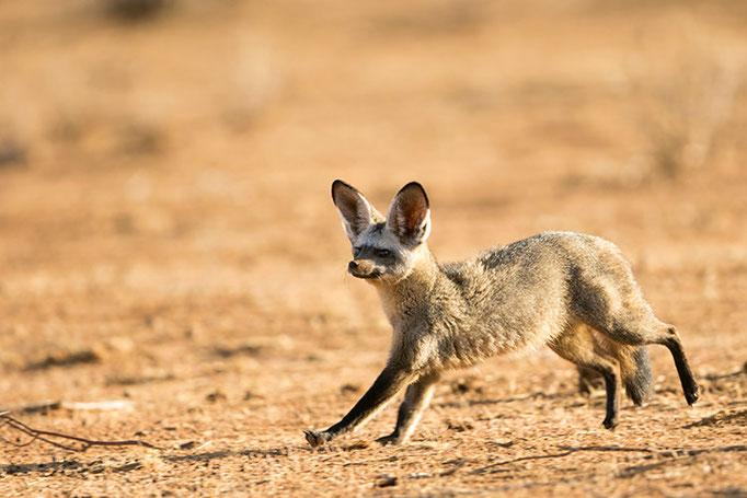 Samburu: Otocyon