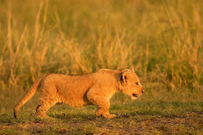 Maasai Mara: Futur prédateur