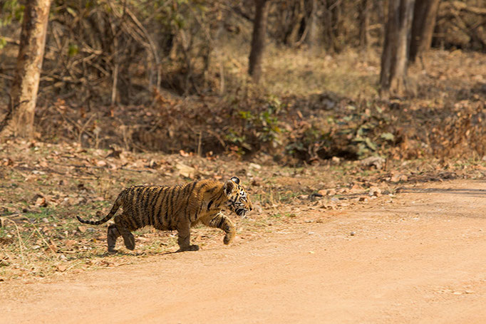Jeune de Maya (2 mois et demi) - Tadoba Andhari Tiger Reserve