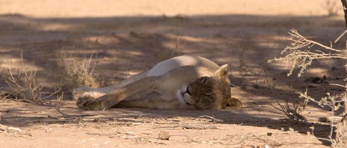 Lionne à la sieste