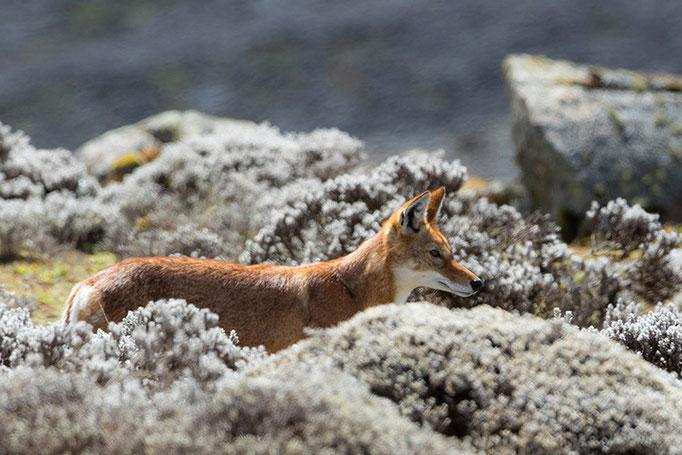 Balé Mountain National Park - Loup d'Abyssinie