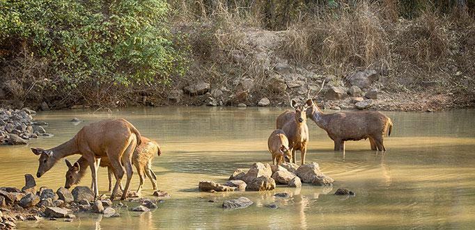 Cerfs Sambar - Tadoba Andhari Tiger Reserve