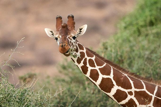 Samburu: Girafe Réticulée