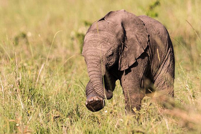 Maasai Mara: Elephanteau