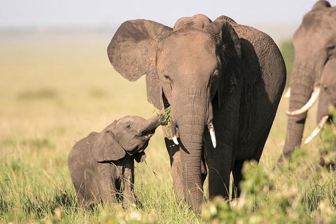Maasai Mara: Elephanteau avec sa mère