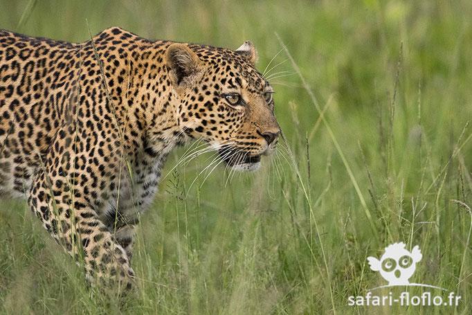 Femelle léopard (Romi)